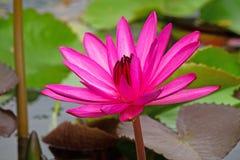 Lotus Water Lily Purple imágenes de archivo libres de regalías