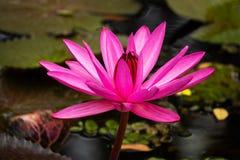 Lotus Water Lily Purple fotos de archivo