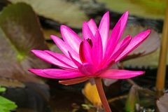 Lotus Water Lily Purple fotografía de archivo libre de regalías