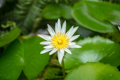 Lotus. (water lily) in soft-focus with blurred background Stock Image