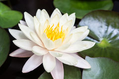 Lotus or water lily. White lotus or water lily Royalty Free Stock Photos