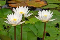 Lotus Water Lily White foto de archivo libre de regalías