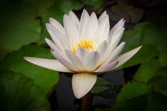 Lotus Water Lily White fotos de archivo libres de regalías