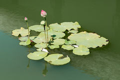 Lotus in the water Stock Photo
