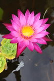 Lotus in water well. I found this flower water well in thai temple Royalty Free Stock Images