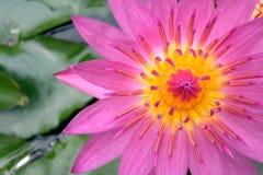 Lotus - Waterlelie Royalty-vrije Stock Afbeelding