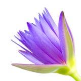 Lotus; Waterlelie; Bloem in de Tuin stock foto