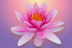 Lotus-waterlelie met het knippen van wegroze dat en purple wordt geïsoleerd Royalty-vrije Stock Fotografie