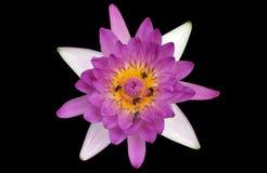 Lotus, waterlelie, op zwarte achtergrond waterlily wordt geïsoleerd die Royalty-vrije Stock Afbeeldingen