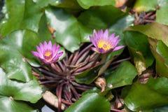 Lotus/waterleliebloemen stock afbeeldingen