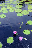 Lotus-waterlelies Royalty-vrije Stock Foto's