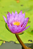 Lotus or waterlily flower Stock Image