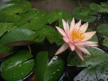 Lotus, waterlily. Orange lotus flower in pond Royalty Free Stock Images