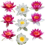 Lotus Waterlily Set Stock Image