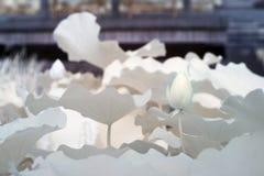 Lotus (wetenschappelijke naam: Nelumbonucifera) Stock Foto's