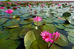 Lotus, wetlands Stock Photography