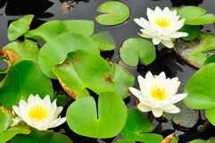 The lotus which have white have the background is the lotus Stock Images