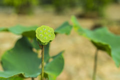 Lotus which leaf fall and green calyx Royalty Free Stock Photo