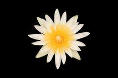 Lotus. White lotus on black background royalty free stock images
