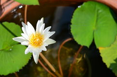 Lotus. White lotus bloom when the sun shine Royalty Free Stock Photography