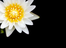 Lotus. White lotus blooming very beautiful Stock Images