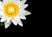 Lotus. White lotus blooming very beautiful stock images