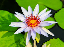 Lotus white. Is blossoming in gaden Stock Photos