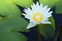Lotus white Stock Image