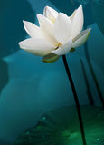 Lotus white color fresh lotus blossom or water lily flower bloom. Ing on pond background, Nymphaeaceae Royalty Free Stock Images
