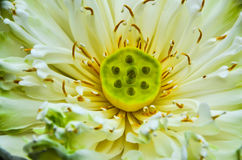 Lotus. White lotus flower in graden Stock Photo