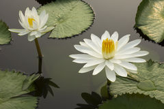 Lotus 106. White lotus in the pond Stock Images