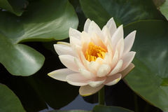 Lotus 133. White lotus in the pond Stock Photography