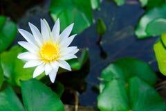 Lotus. White lotus in pond for garden decoration Stock Image