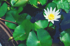 Lotus. White lotus in pond for graden decoration Royalty Free Stock Photography