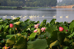 Lotus with white swan in hangzhou west lake Stock Photos