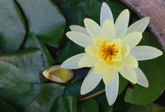 Lotus white Stock Photography