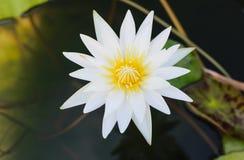 Lotus white Royalty Free Stock Photos