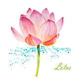 Lotus  on white. Watercolor illustration for design Stock Images