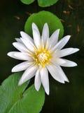 Lotus Stock Image