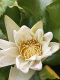 Lotus-wit royalty-vrije stock foto