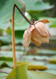 The lotus withered blossom Stock Photos