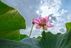 Lotus wordt uitgerekt aan de hemel Royalty-vrije Stock Foto