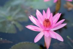 The lotus for worship on the holy day. And a beautiful flower Stock Photos