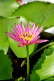 Lotus y abeja Imágenes de archivo libres de regalías