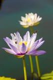 Lotus y abeja Foto de archivo libre de regalías