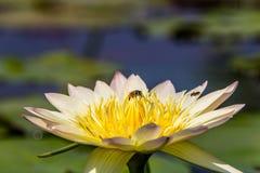 Lotus y abeja Foto de archivo