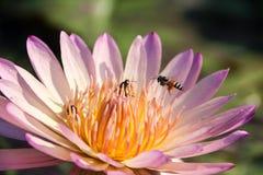 Lotus y abeja Fotografía de archivo libre de regalías