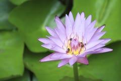 Lotus y hojas del loto en piscina Fotos de archivo libres de regalías