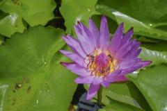 Lotus y hojas del loto en piscina Imagen de archivo libre de regalías