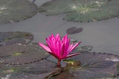 Lotus y rana verde Fotografía de archivo
